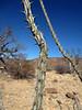 Fouquieriaceae, Fouquieria diguetii, Palo Adan, Adam's Tree
