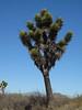 Datilillo, Yucca valida.