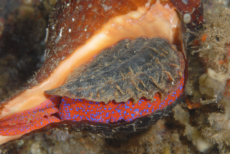 Conch, Panamic Horse; Pleuroploca princips<br /> However, the Conch completely engulfed the smaller snail, barb and all.