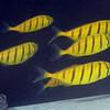 Golden Jacks, Gnathanodon speciosus