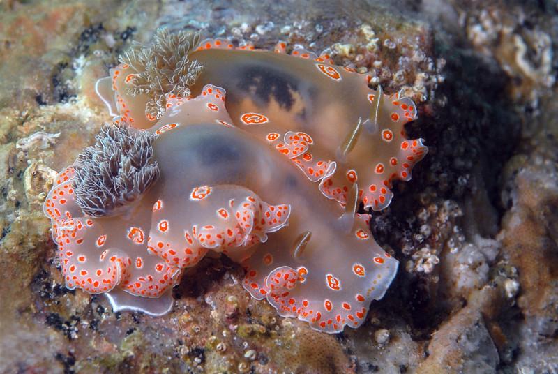 Felimida marislae, previously Chromodoris marislae