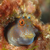 Fish, Freckled Blenny; ID needed