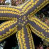 Star, Yellow Spotted; Pharia pyramidata