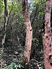 Metopium brownei, also known as Chechem, Chechen, or Black Poisonwood.  The bark contains urushiol, a skin irritant which causes an allergic reaction. The Chaca tree bark provides an antidote, though not 100% effective, to Chechem poison.