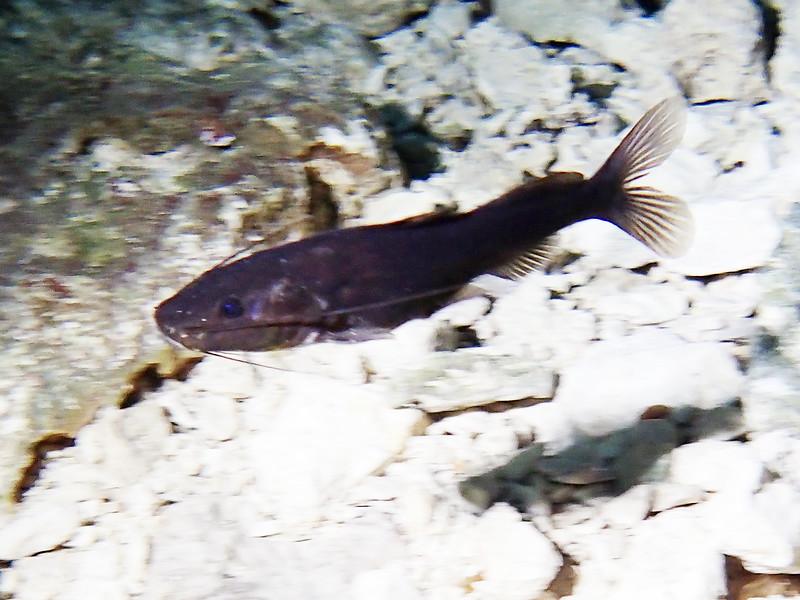 Catfish ID needed<br /> Tajma Ha Cenote
