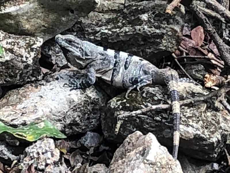 Iguana<br /> Ek Balam, Yucatan