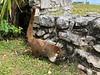 Coati, cousin of the raccoon<br /> Tulum, Mexico