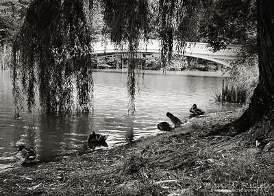 Ducks, Bowbridge