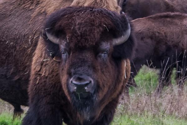 Oak Meadows Buffalo Ranch