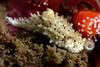 Aegires albopunctatus, White-Spotted Dorid<br /> Point Loma, California