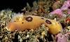 Diaulula sandiengensis, yellow version<br /> Laguna Beach, California