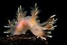 "Dendronotus diversicolor (?)<br /> ""The Pipe"", El Segundo, California"