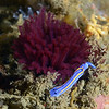 Felimare porterae with Feather Duster worms