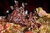 Aplysia californica, California Sea Hare<br /> Anacapa Island