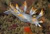 Dendronotus albus; White Dendronotus<br /> Point Loma, California