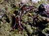 Aplysia juvenile (vaccaria or californica?)<br /> Laguna Beach, California