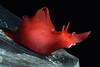 Aplysia californica, juvenile<br /> Golf Ball Reef, Redondo Beach, California