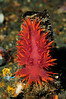 Dendrontus iris on tube of anemone.<br /> Redondo Barge, California