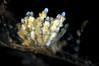 """Eubranchus rustyus<br /> """"The Pipe"""", El Segundo, California<br /> ID thanks to David Behrens"""