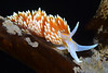 Hermissenda opalescens<br /> Little Reef, Palos Verdes, California
