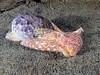 Bulla gouldiana, Gould's Bubble Snail<br /> La Jolla Shores, California