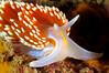 Hermissenda opalescens, Horned Aeolid<br /> Santa Cruz Island, California