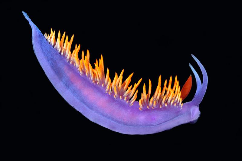 Flabellinopsis iodinea, Spanish Shawl, formerly Flabellina iodinea