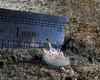 Acanthodoris rhodoceras, approx. 1/2 inch<br /> La Jolla Shores, California