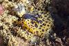 Jorruna pardis, pair mating<br /> Kevin's Reef North, Palos Verdes, California