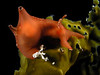 Aplysia californica, California Seahare, juvenile.<br /> La Jolla Shores, California