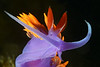 Flabellinopsis iodinea, Spanish Shawl, formerly Flabellina iodinea<br /> Palos Verdes, California