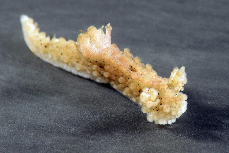 Aegires albopunctata<br /> Little Reef, Pt. Vicente, Palos Verdes, California