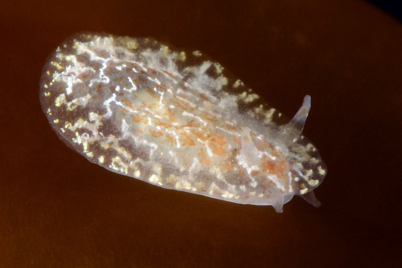 Corambe steingbergae, with amphipods<br /> Golfball Reef, Palos Verdes, California