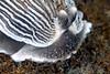 Armina californica, California Armina; note oral hood where spots are actually spiky protrusions<br /> La Jolla Shores, California