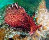 "Aplysia californica, adult measuring about 14""<br /> Eel Cove, Catalina Island, California USA"