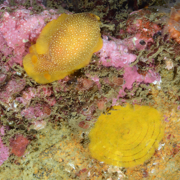 """Doriopsilla gemela. """"Those are classic Doriopsilla gemela with eggs. The entire ribbon of D. gemela is attached to the reef, in contrast to the eggs of D. albopunctata, D. fulva, and D. davebehrensi, which are connected to the substrate only by their edge. The ribbon of D. bertschi is similar to D. gemela and the two are sister species, indicating that the character of egg ribbon shape may be a synapomorphy for D. gemela and D. behrensi.""""<br /> Kevin's Reef, Palos Verdes, California<br /> Comments and ID thanks to Craig Hoover"""