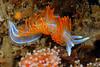 Hermissenda opalescens (or crassicornis?), Horned Aeolid, orange certa version<br /> Palos Verdes, California