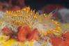 Janolus barbarensis, Santa Barbara Janolus<br /> Morro Bay, California