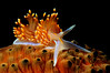Hermissenda opalescens, Horned Aeolid, on sea cucumber<br /> El Segundo, California