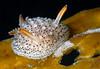Acanthodoris rhodoceras, juvenile form<br /> Redondo Canyon, California