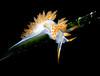 Flabellina trilineata, Three-Lined Aeolid
