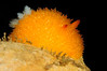 Acanthodoris lutea, Yellow Horned Dorid<br /> Star of Scotland Wreck<br /> California