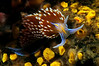 Hermissenda opalescens, Horned Aeolid<br /> Pt. Loma, California
