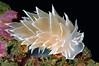 Dirona albolineata, White-lined Dirona<br /> Santa Cruz Island, California
