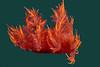Dendronotus iris, Rainbow Dendronotus<br /> La Jolla Shores, California
