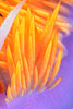 Flabellinopsis iodinea, Spanish Shawl, formerly Flabellina iodinea<br /> Golfball Reef, Redondo Beach, California