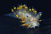 Antiopella barbarensis, formerly Janolus barbarensis<br /> Rock Pile, Marina del Rey, California