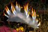 Dendronotus albus<br /> Pt. Loma, California