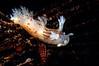 "Dendronotus subramosus, white color version<br /> ""The Pipe"", El Segundo, California"