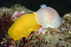 Doriopsilla albopunctata, White Spotted Dorid, two color variations<br /> Golf Ball Reef, Redondo Beach, California